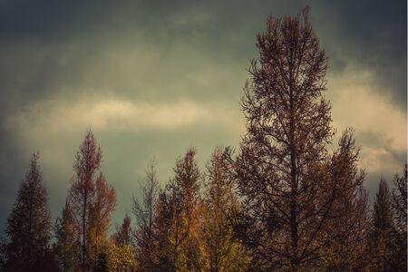 Tamarack Trees in Fall 写真素材