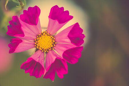 Vintage Look Cosmos Flower
