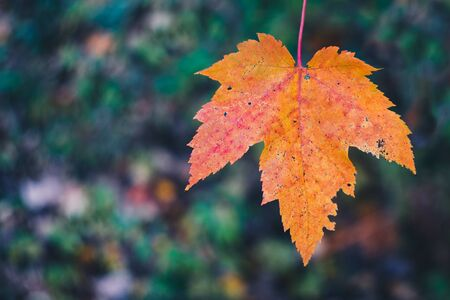 Single Brightly Colored Maple Leaf