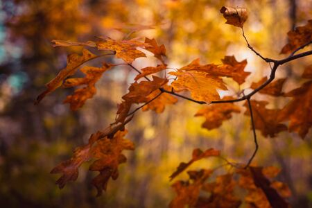 Fall Color Oak Leaves