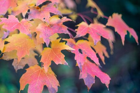 Brightly Colored Sugar Maple Leaves