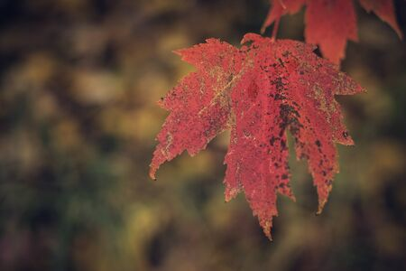 Close View of Maple Leaf in Late Fall Stock Photo