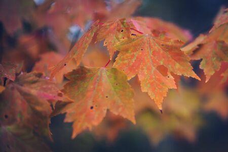 Vintage Look Red Maple Leaves