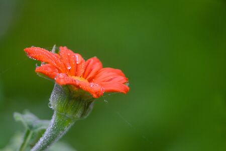 Blooming Mexican Sunflower in Summer
