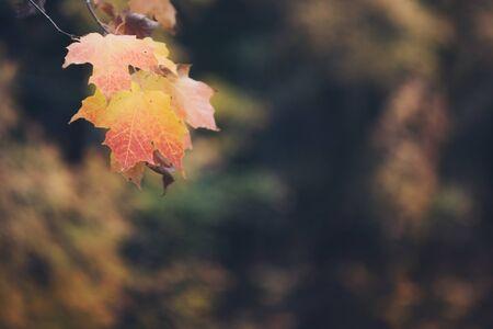 Vintage Looking Maple Leaves