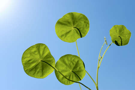 Leaves of a nasturtium on a background of the blue sky photo