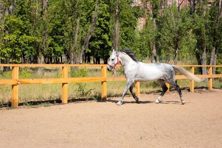 Spotted horse was galloping fast across field along fence Stock Photo - 7424649