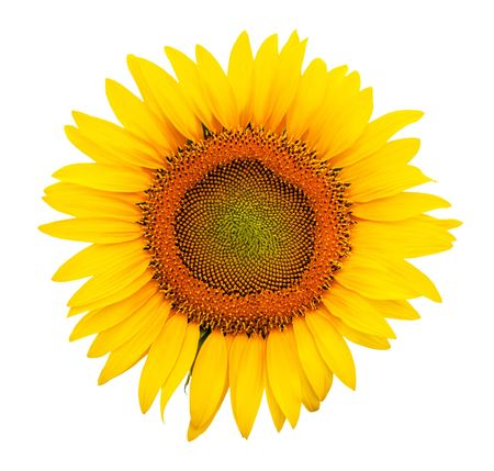Closeup beautiful sunflower Stock Photo - 7488224