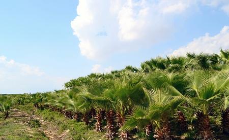 palm oil plantation: Palm Plantation Stock Photo