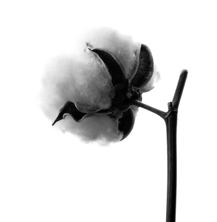 cotton flower: branch of cotton