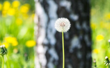 green back: Dandelion on lawn at forest Stock Photo