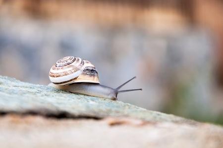 Closeup Snail on stone after rain photo