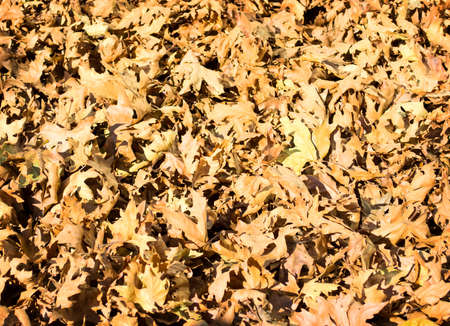 Nature background from the fallen dry leaves of oak  photo
