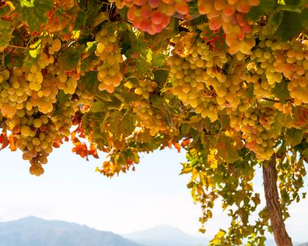 grape field: Fresh Green grapes on vine. Summer sun lights. Shallow depth of field Stock Photo