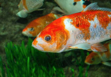 Gold fish in aquarium with grass  photo