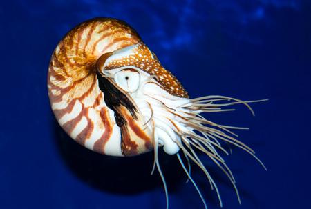Nautilus sea shell swimming in sea