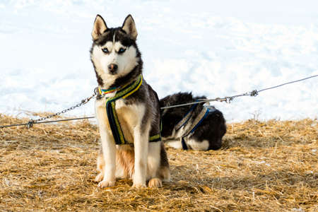 sled dog: Two siberian husky dogs outdoor against snow background