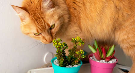 Close view of a couple of colorful and small succulent plants in their pots being examined by a curious ginger cat. Placed on top of a table. Taken indoors.