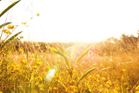 close up view of an area filled with little yellow flowers mixed with green grass areas Stockfoto