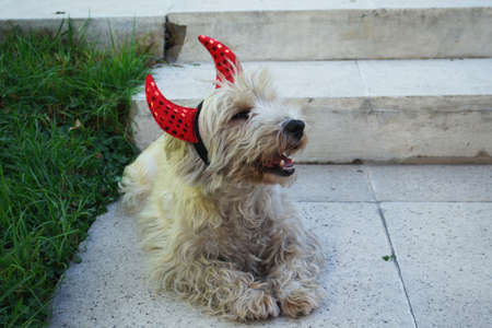 diabolical cute dog ready for halloween with a pair of red horns