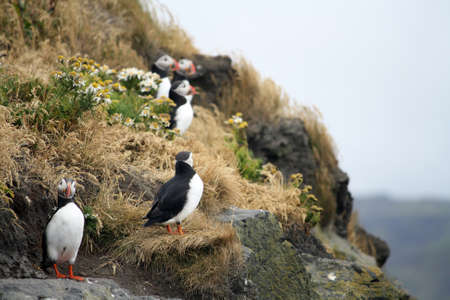 Cute puffins on a cliff photo