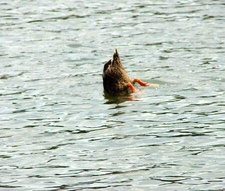 Duck Diving For Fish in a Lake