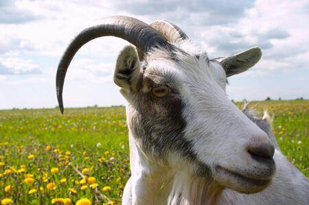 Horned goats head photo