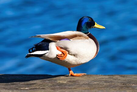 The mallard (Anas platyrhynchos) is a dabbling duck that breeds throughout the temperate and subtropical Americas, Eurasia, and North Africa.