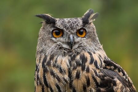 The Eurasian eagle-owl (Bubo bubo) is a species of eagle-owl that resides in much of Eurasia.