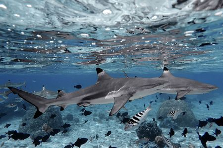 moorea: Blacktip sharks swimming in crystal clear water in Moorea, French Polynesia.