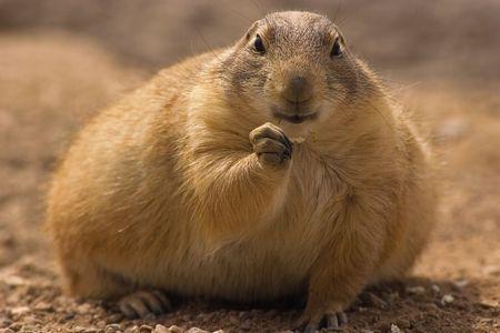 portly: Chubby prairie dog eating Stock Photo