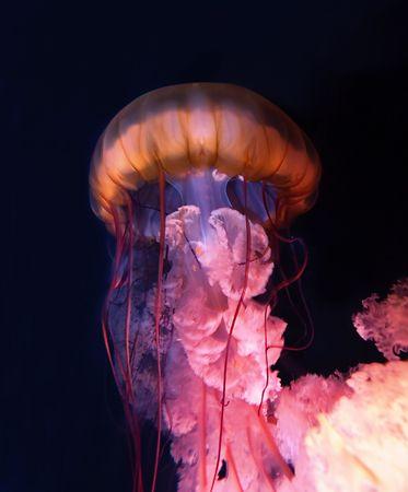 Colorful swimming jellyfish photo