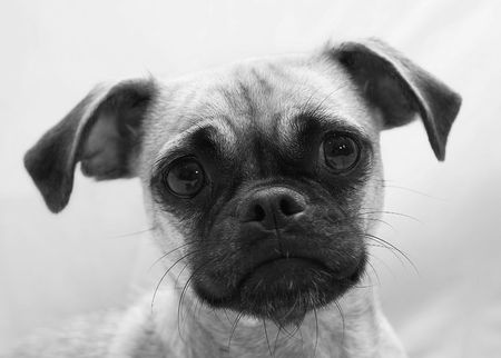 Cute Chihuahua Pug mix puppy with sad eyes.