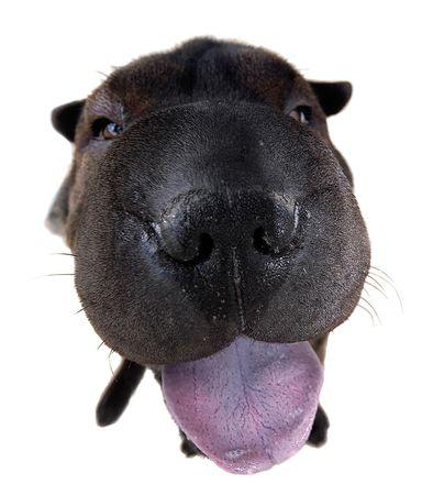 antics: Funny Shar-Pei dog with a big tongue.