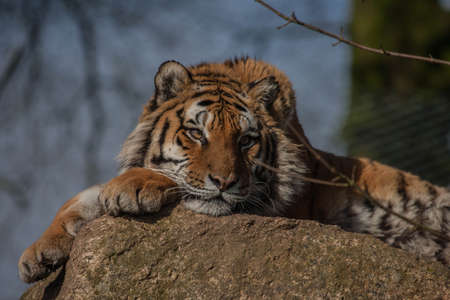 snoozing: Tiger snoozing on his rock Stock Photo