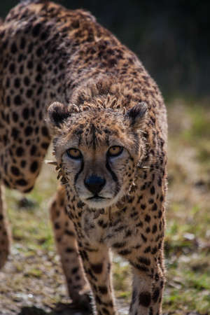 sita: Sita the Cheetah Stock Photo