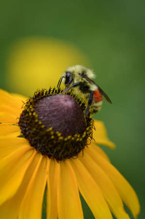 brown  eyed: Closeup shot of a bee feeding on a brown eyed susan