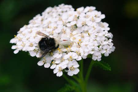 흰 꽃 거미는 짖는 식물에 bumblebee 먹는