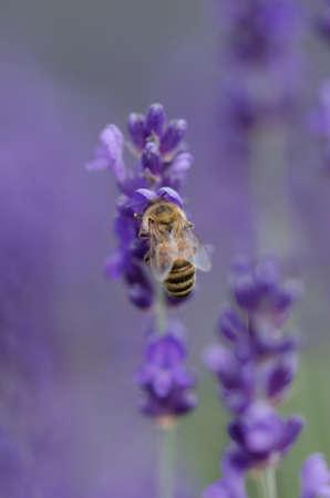 honeybee: A closeup shot of a honeybee feeding on a lavender plant