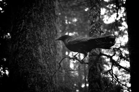 stark: A black and white shot of a black raven amongst some trees. Stock Photo