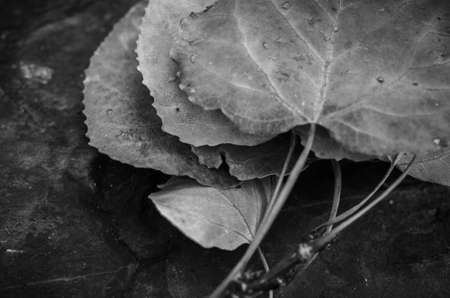 quaking aspen: Black and white shot of quaking aspen leaves Stock Photo