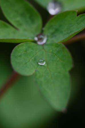 hemorragias: Macro de una gota de lluvia en una flor del coraz�n sangrante