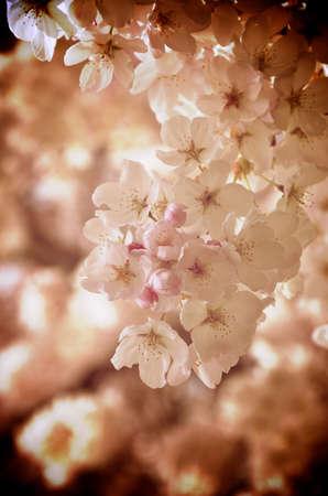 blush: Up close shot of blush flowers Stock Photo