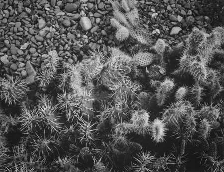 A bunch of cactus among the rocks in black and white