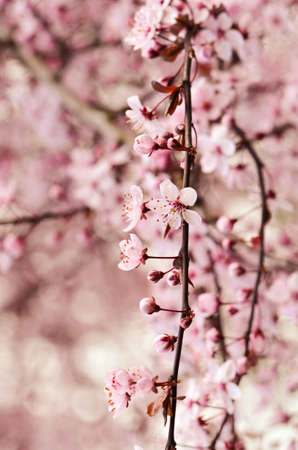 cerezos en flor: Macro shot of cherry blossoms in a vintage style Foto de archivo