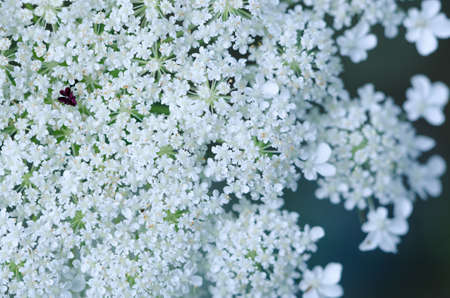 anne: Macro shot of Queen Anne's Lace