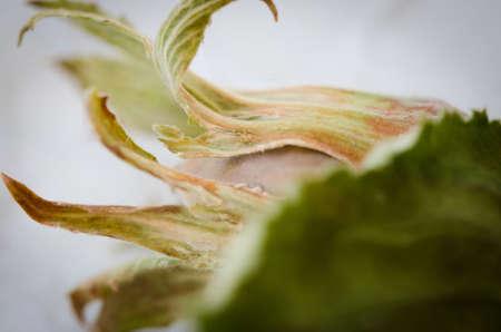 hazel nut: Macro shot of a hazel nut petals