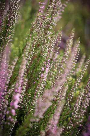 A closeup shot of flowering heather in the spring Фото со стока