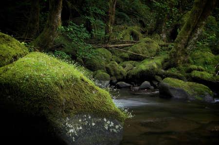 herman: A mossy stone in Herman Creek in Oregon