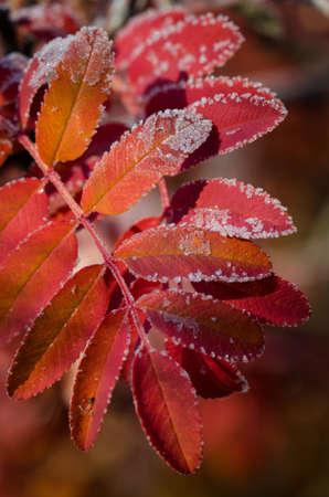 mountain ash: Macro shot of a red mountain ash branch